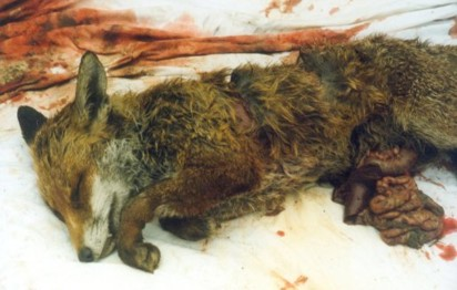 Fox Cub killed 05-10-02