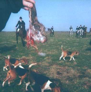 Hare ripped apart by beagle pack